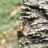 Bee gathering water
