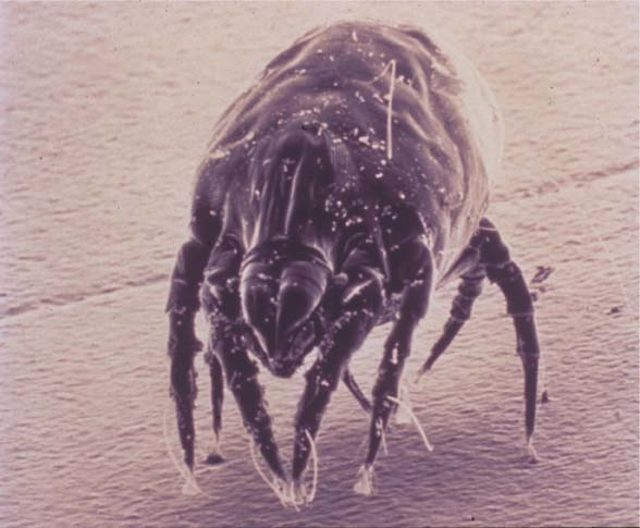 Dust mite on the prowl